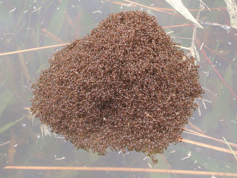 fire-ant-raft-1
